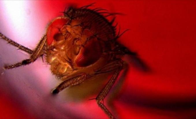اكتشاف مذهل: الذباب يعشق الجنس والخمر!