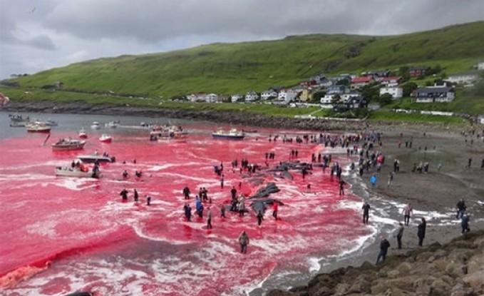 مجزرة ضد الحيتان في الدنمارك شارك فيها أطفال بعمر 5 أعوام