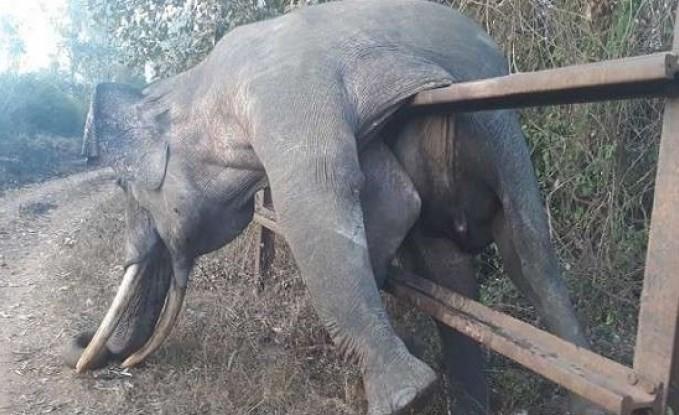 بالفيديو : نفوق فيل بعد تنفيذه لعملية سرقة