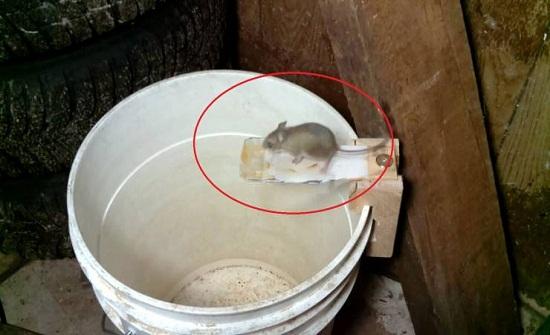 شاهد رجل يصنع أذكى مصيدة فئران و تنفيذها سهل و بسيط!