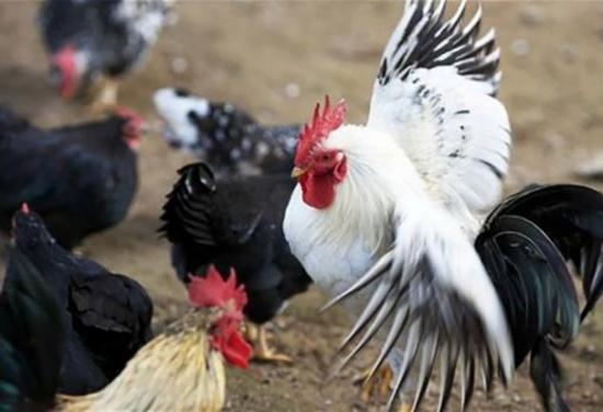 دراسة تحلل العلاقة العاطفية لـ'الديك' مع الدجاج.. وتشابه مع البشر !