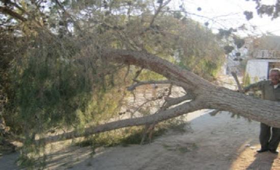 سقوط شجرة معمرة على منزل بالشونة الجنوبية