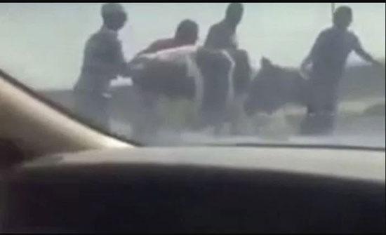 بالفيديو: سقوط بقرة على طريق حيوي سريع بالكويت
