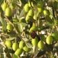 ورشة عمل للعناية باشجار الزيتون في بلدة عراق الكرك