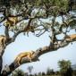 بالصور.. ملوك الغابة تتسلق الأشجار هربا من الذباب