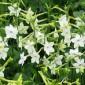 زهور التبغ قادرة على مكافحة السرطان
