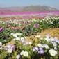 رحلة وسط الزهور في صحراء اتاكاما