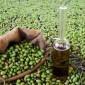 1700 طن الانتاج المتوقع من زيت الزيتون في جرش