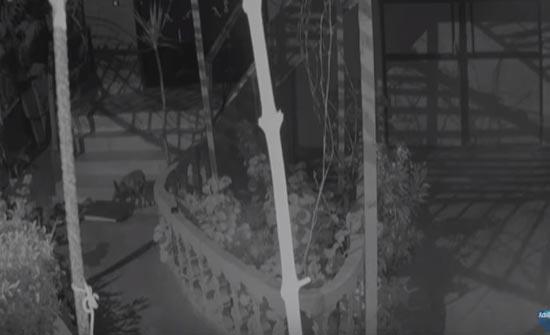 سلعوة مفترسة تهاجم البيوت ( فيديو )