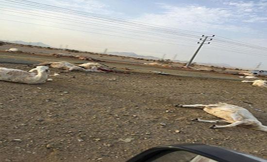 شاهد: دهس قطيع من الأغنام في مكة المكرمة  وتناثر أشلاؤها