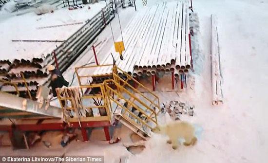 لقطات مرعبة لدب قطبي يحاول الهجوم على عامل بعد إطعامه (فيديو)