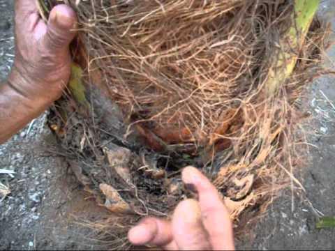 زراعة الاغوار الشمالية تنفذ حملة لمكافحة سوسة النخيل