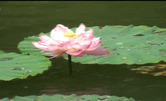 بالفيديو : لقطات نادرة لسمك الكارب يأكل زهور اللوتس