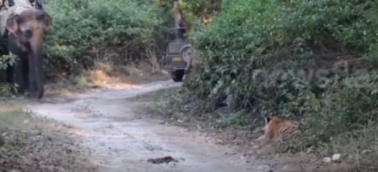 فيديو| نمر يحاول إفتراس فيل ولكنه يتراجع قبل...