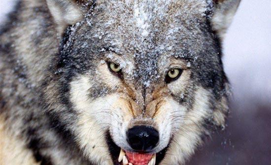 فيديو . . صراع شرس بين ذئب وحيوان عملاق