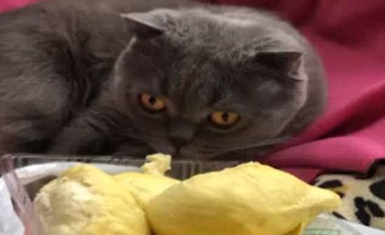 بالفيديو :قط يفقد وعيه بسبب رائحة فاكهة الدوريان