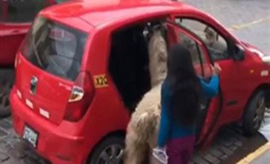 لقطات محيرة لحيوان ألبكة يركب تاكسي مع صاحبته (فيديو)