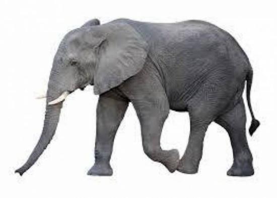 بالفيديو..  مشهد غريب جداً ضبع يخرج من بطن فيل!!