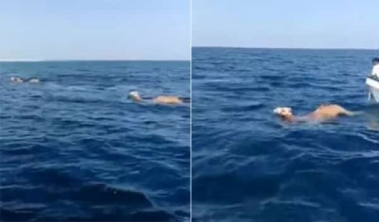 شاهد: جمال تسبح بأحد البحار بمهارة دون خوف من المياه