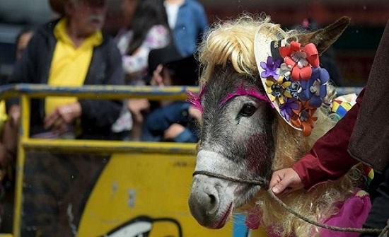 الحمير تتأنق والبشر ينهقون.. في مهرجان كولومبيا