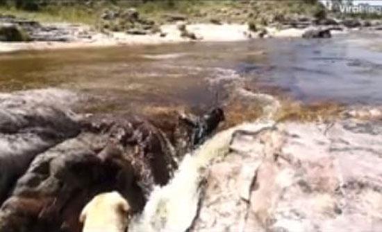 كلب ينقذ صديقه من الغرق على طريقة الأفلام (فيديو)