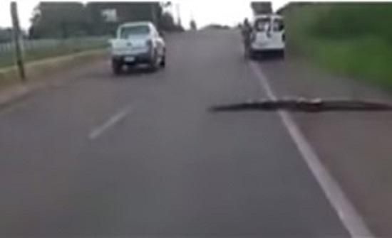 أناكوندا ضخمة تتسبب في توقف حركة المرور في البرازيل (فيديو)