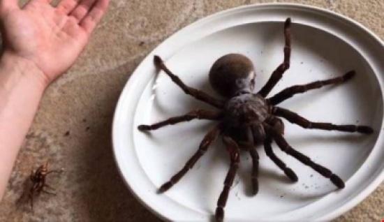 أكبر عنكبوت في العالم!