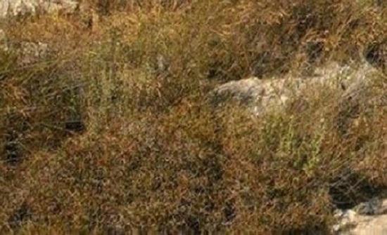 الاعشاب الجافة تهدد البيئة والثروة الحرجية في عجلون
