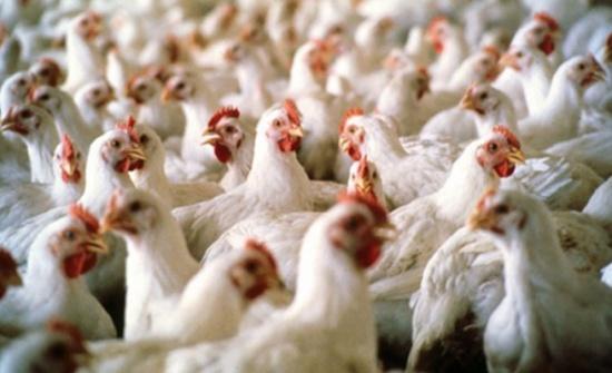 انخفاض انتاج الدجاج اللاحم