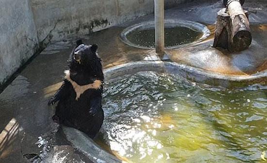 (فيديو) : دب طريف يستمتع بالمياه في الطقس الحار