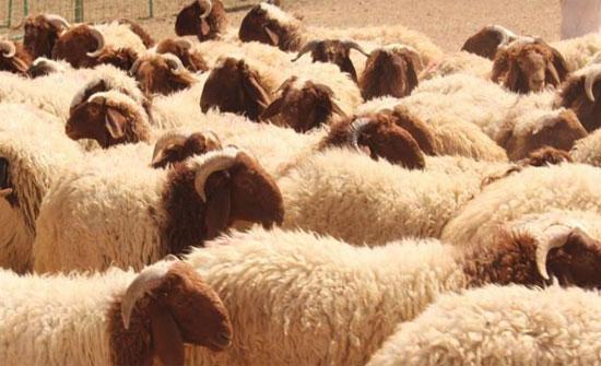 90 الف أضحية من أصل 132 الف تم بيعها في عمان