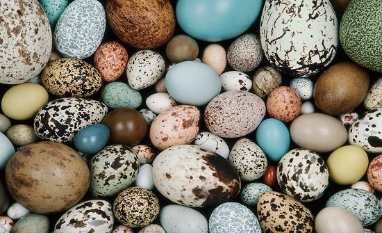 بريطانيا: السجن لمهرب بيض طيور مهددة بالانقراض