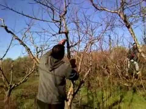 دورة تدريبية في مجال اكثار اشجار اللوزيات