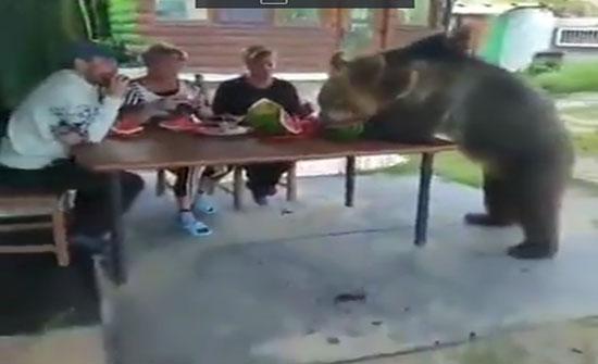 فيديو: لقطات صادمة لدب عملاق يأكل البطيخ مع عائلة