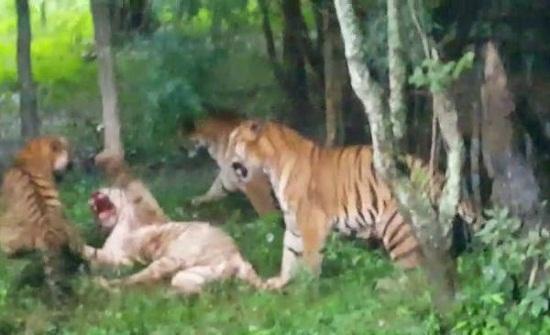 """مجموعة من النمور تفتك بآخر """"أبيض نادر"""" وتقطعه إلى أشلاء"""