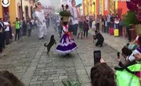 c185740c3 كلب يسرق الأنظار في موكب زفاف مكسيكي بحركاته الراقصة (فيديو). لقطة من  الفيديو. المدينة نيوز ...
