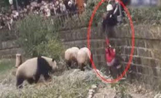 سقوط فتاة داخل قفص باندا عملاقة داخل محمية (فيديو)