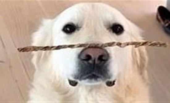صور: موهبة كلب في حفظ توازن الأشياء أعلى أنفه