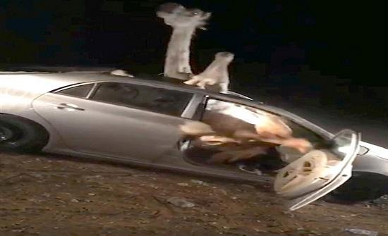 بالفيديو : مشهد صادم لجمل محشور في سيارة بعد حادث مرعب في الهند