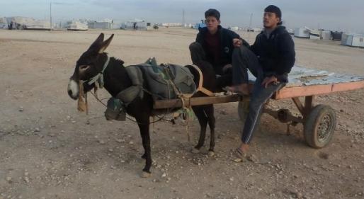 الحمير.. وسيلة لكسب الرزق في الزعتري