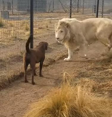 فيديو .. العِشْرة بين أسد وكلب تتغلب على غريزة العداء