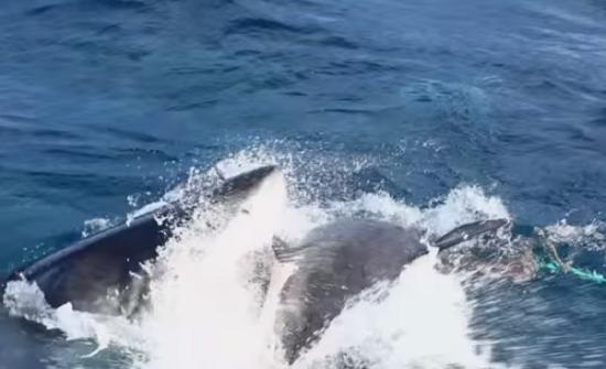 معركة دامية بين سمكتي قرش في بحر قرب استراليا