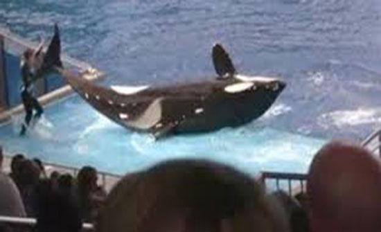 لقطات مروعة لحوت قاتل يضرب مدربه بذيله (فيديو)