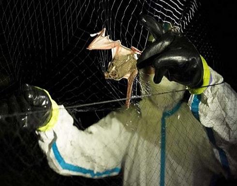 باحثون يبدأون في جمع عينات من الخفافيش بكمبوديا لمعرفة أصل كوفيد-19- (صور)