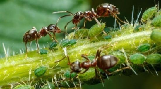 باحثون: النمل يتبادل المعلومات باستخدام اللعاب