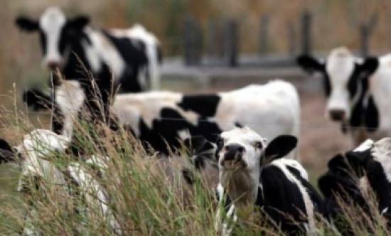 """احذروا.. الأبقار قد تصبح """"عملة نادرة""""!"""