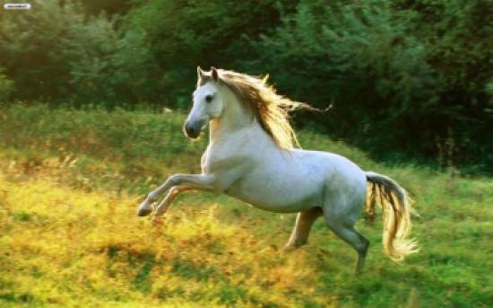 بوتين يهدي ترامب حصاناً ابيض