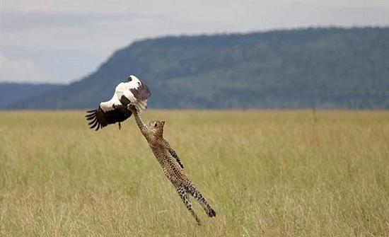 شاهد .. طائر يهرب بمعجزة من مخالب نمر بحديقة سفاري