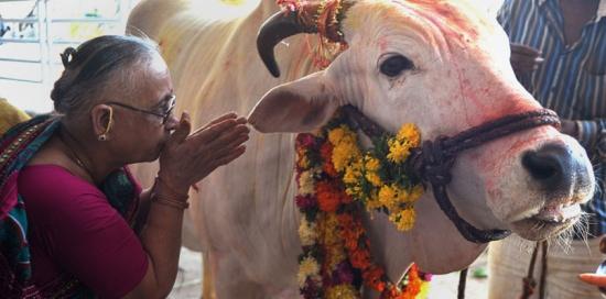 بسبب الأبقار.. مسلمون مهددون بالقتل في الهند