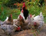 رائحة الدجاج قد تنقذ الملايين من الأمراض!